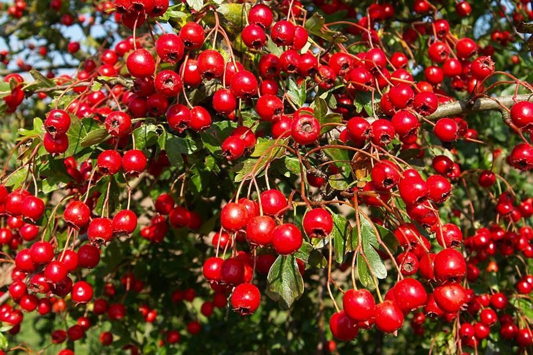 Alic bitkisinin faydalari